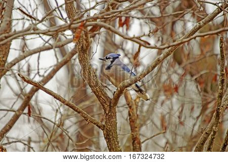 A single blue jay perched on a tree limb on a cold winter day