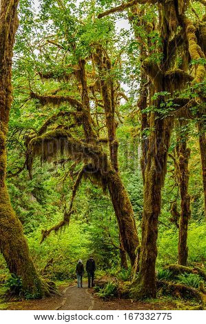 walkers into the path of the temperate Hoh Rain Forest.Olympic National Park Washington State USA