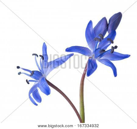 Close-up of Siberian Squill (Scilla siberica). Early spring flower isolated on white background. Shallow DOF. Selective focus