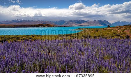 Panoramic Landscape View Of Lake Tekapo And Blooming Flowers, Nz