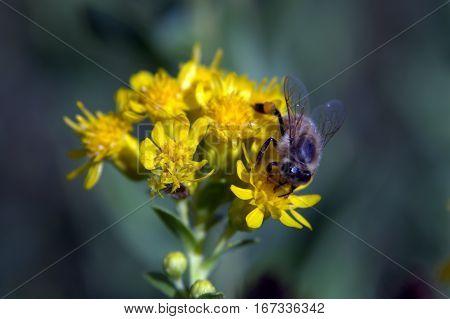 Honeybee pollinating a flower macro photography animal
