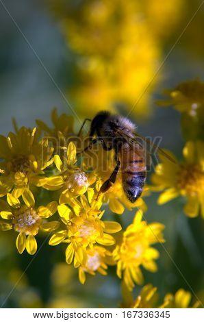 Honeybee on a flower pollination macro photography