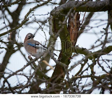 Eurasian Jay On Branch