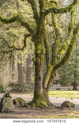 Moss covered tree in a park Washington state.