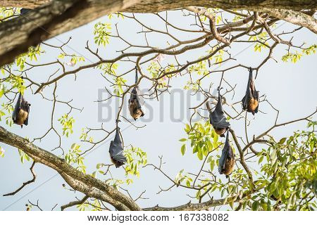 Indian flying fox or Pteropus giganteus in Kandi park, Sri Lanka