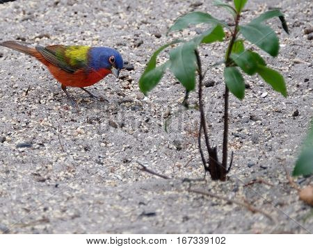Colorful male Painted Bunting small bird on the ground with head tilted