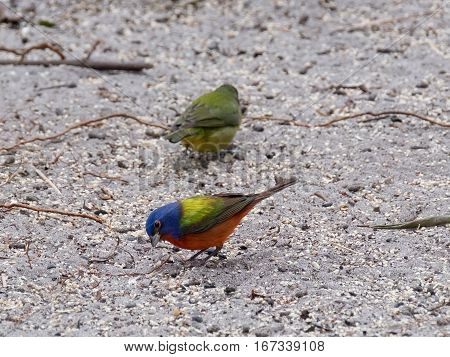 Colorful Male Painted Bunting bird on the ground with female in background