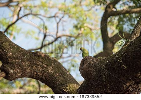 Wild rose-ringed Parakeet or Psittacula krameri in Sri Lanka