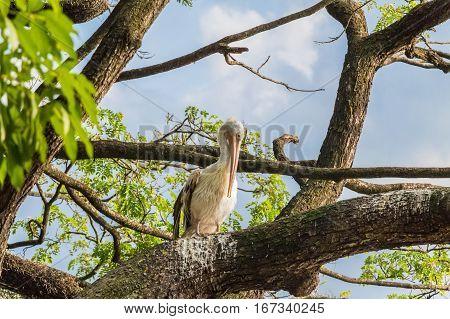 Spotted-billed pelican or Pelecanus philippensis perching on tree in Sri Lanka