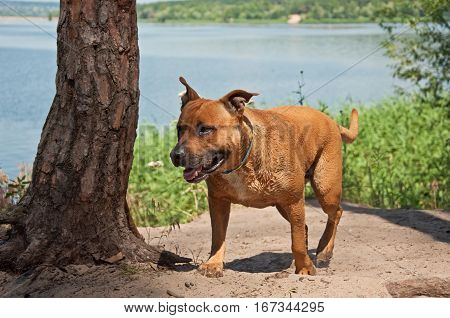 American Staffordshire Terrier walking near river in summer
