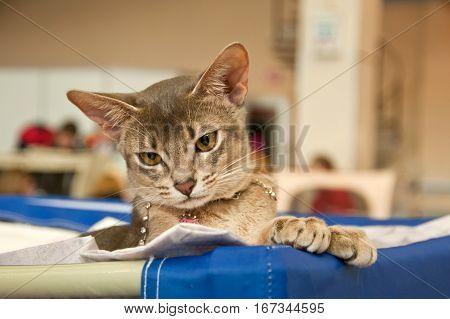 Abyssinian Cat At An Exhibition