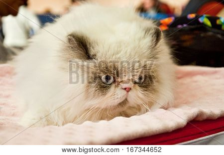 Persian Cat At An Exhibition