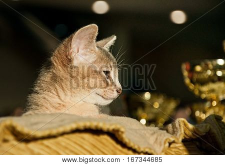 Abyssinian Kitten At An Exhibition