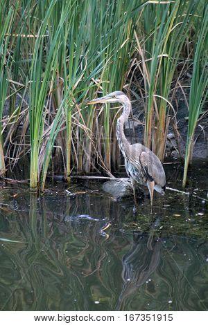 The grey heron standing in water between grass