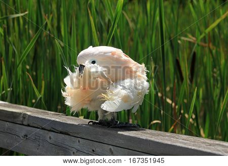 W hite parrot sitting on wood fence