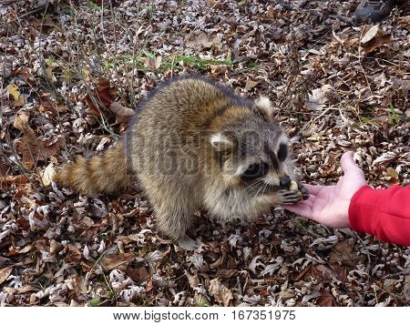 The raccoon eating nuts from child hand