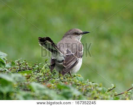 Northern Mockingbird back and tail to camera with head turned in profile amd tail sticking out