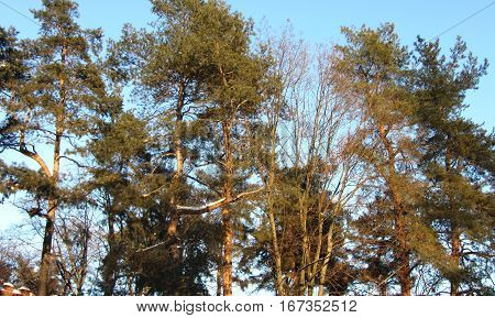 Apexes of pine-trees on a background blue winter sky.