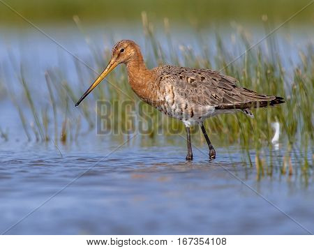 Wading Black Tailed Godwit On A Sunny Afternoon