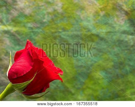 Isolated red rose on yellow green background copy space