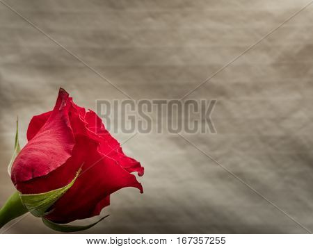 Single red rose on neutral background copy space