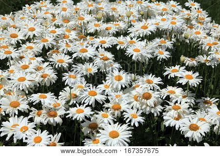 Many white daisies as a natural background