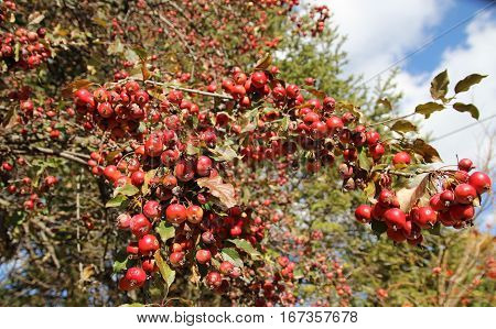 Many small red apples on the branch