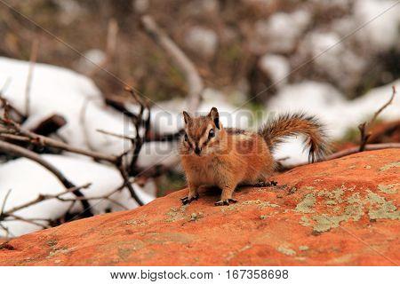 Chipmunk on the West Rim Trail, Zion National Park, Utah