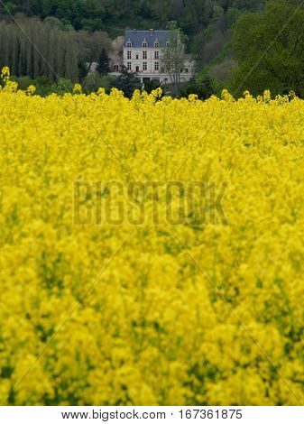 A field of yellow flowers grown to make rapeseed or canola oil with a French manor in the background.