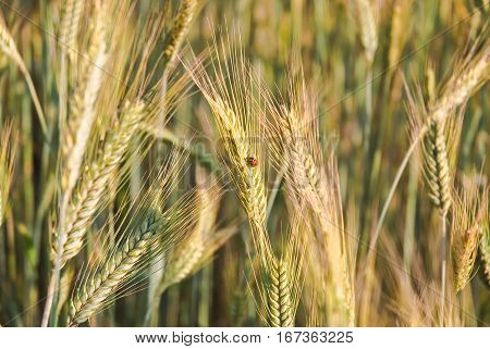 The rye crop (Secale cereale) and ladybug