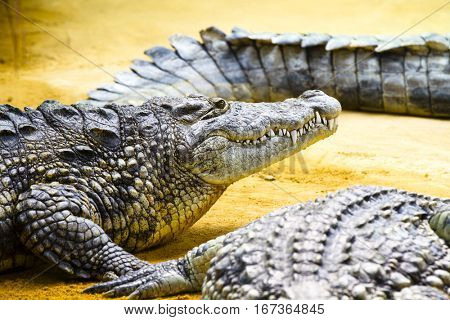 Group of Alligators lying on the sand