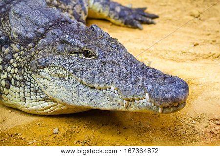 Alligators resting On The Sand