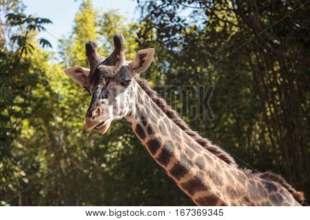 Giraffe Are Found In Africa