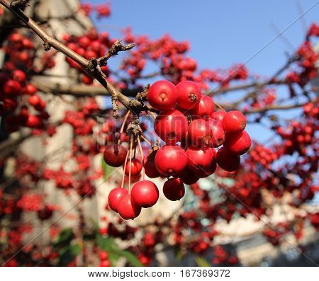 Many small red wild apples on the branch