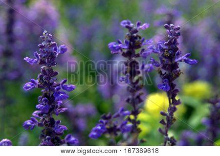 tall purple lavender plant flowers summer field