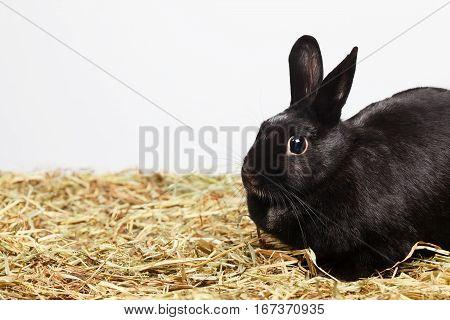 Black female rabbit sitting on hay.Studio shot empty space