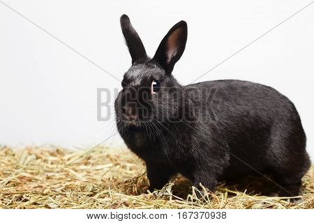 Сurious playful black rabbit standing on hay and looking in to camera