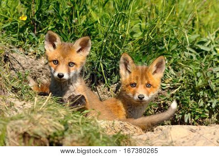 two cute european red fox siblings standing at the entrance of the den ( Vulpes baby wild animals )