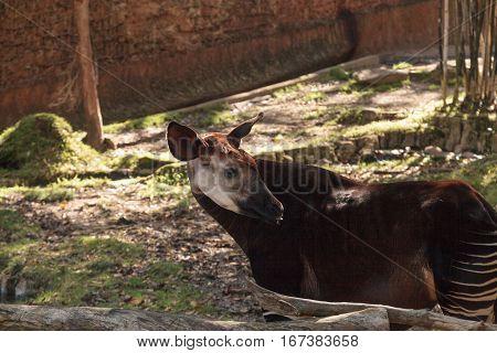 Okapi Okapia johnstoni live in the tropical rainforest in the Congo of Africa.