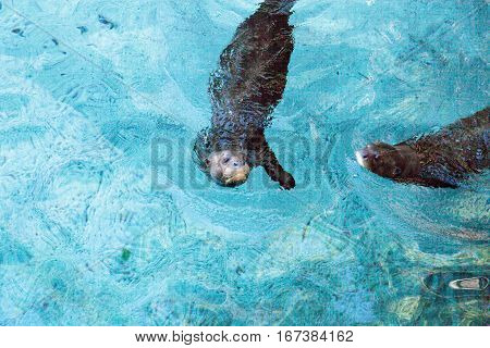 Giant River otter Pteronura brasiliensis is found in the Amazon Orinoco and La Plata rivers of South America.