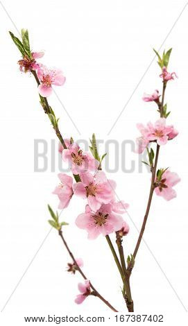 Cherry blossom sakura flowers isolated on white background