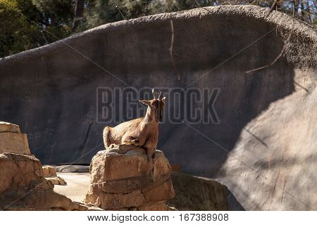 Tadjik Markhor Capra falconeri heptneri are found in the Himalayan Mountains in Central Asia.