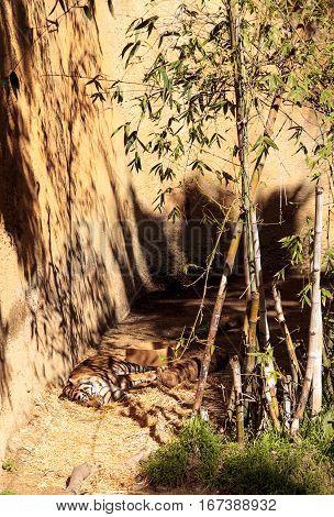 Sumatran tiger Panthera tigris sumatrae relaxes in the sun.
