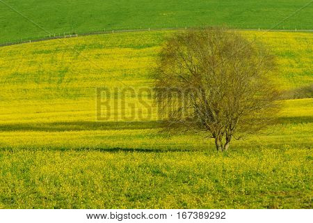 A California field of yellow flowers with a single tree