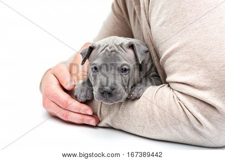 Cute little thai ridgeback puppy sitting in man's arms. One month old dog. Isolated on white background. Copy space.