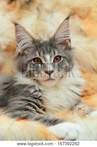 Kitten of Maine coon on spotted fur background