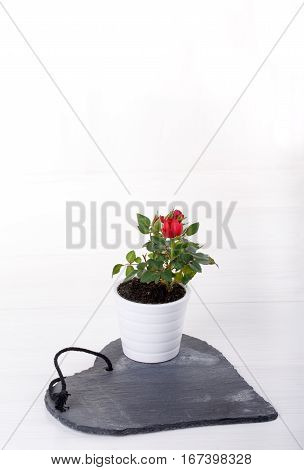 Miniature rose plant with red flowers in a flowerpot on white. Copy space.