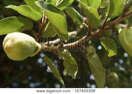 Green Immature Fruit On A Tree Branch, Background
