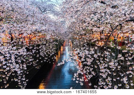 Cherry blossom or Sakura at Meguro Canal in Tokyo Japan. at twilight.