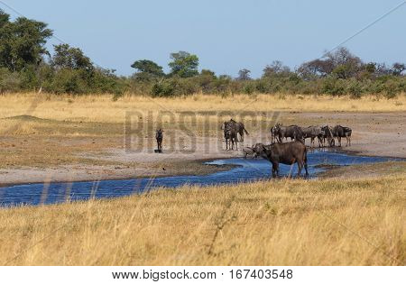 Wildebeest And Buffalo, Africa Safari Wildlife And Wilderness